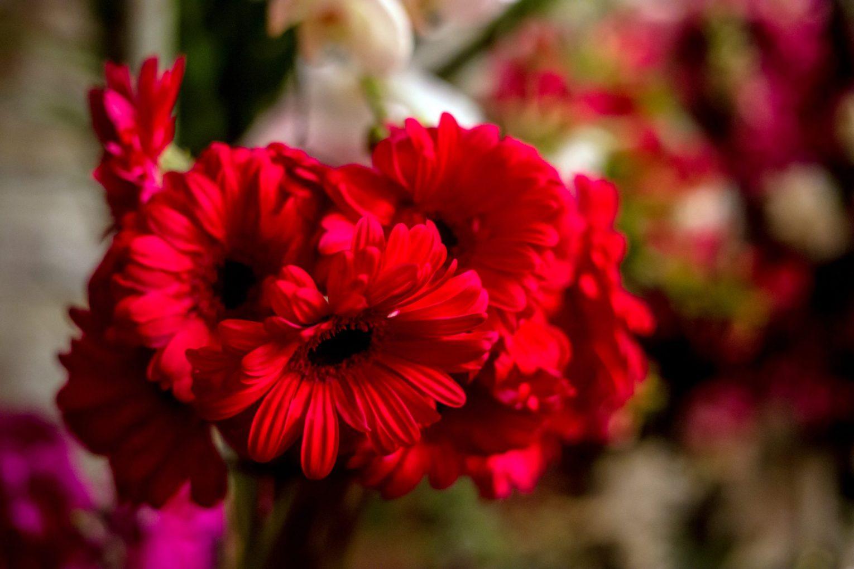 Margaridas-vermelhas